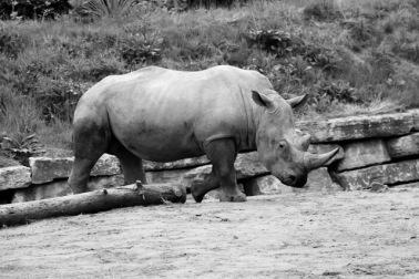 Rhino B+W