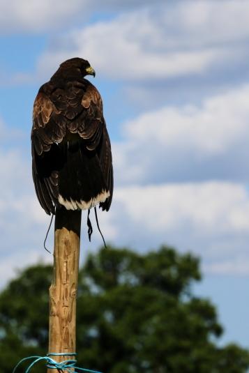 Perched Harris Hawk