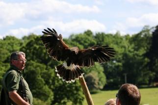 Wingspan Harris Hawk